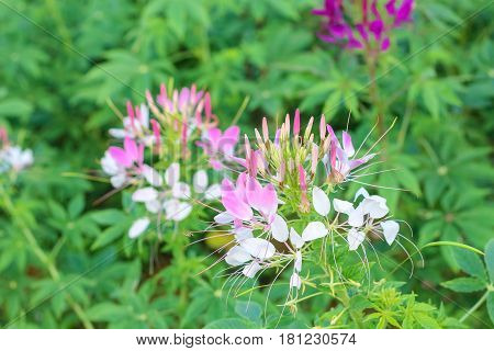 Spider Flowers Or Cleome Spinosa Linn Are Blooming In Autumn.
