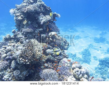 Coral reef with exotic fishes Anthias and Schooling bannerfish at the bottom of tropical sea underwater