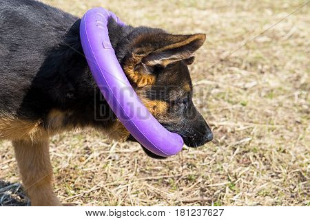 German Shepherd dog playing with a puller ring toy