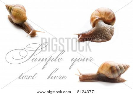 Three giant African snails of ahaatinas on a white background.