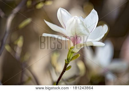 Beautiful blooming magnolia flower in spring time