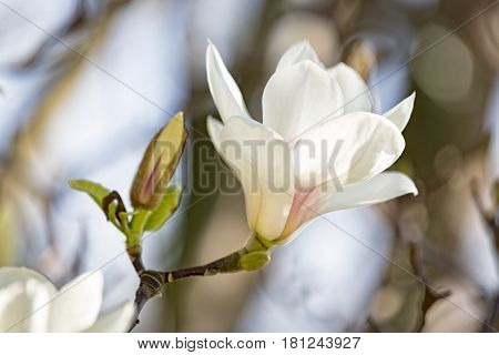 Single blooming magnolia flower in spring time
