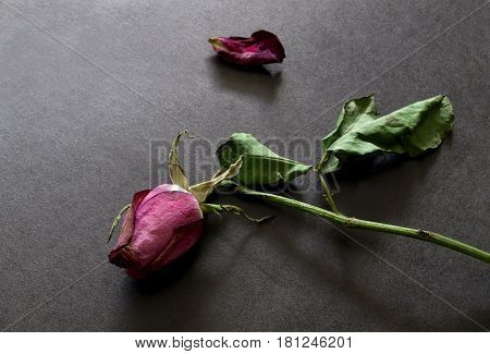 Dried rose and falling petal on dark background. Lost love and broken heart emotions concept.
