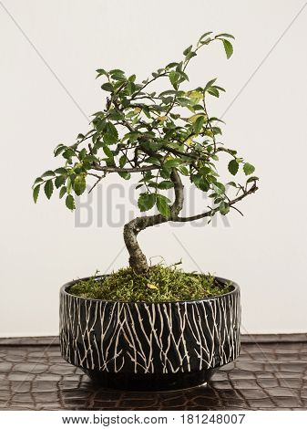 bonsai zelkova tree with flowerpot on white background