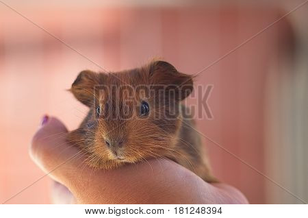 little ginger Guinea pig at the hands of