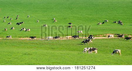 Herd of British Friesian cows grazing on a farmland in East Devon England