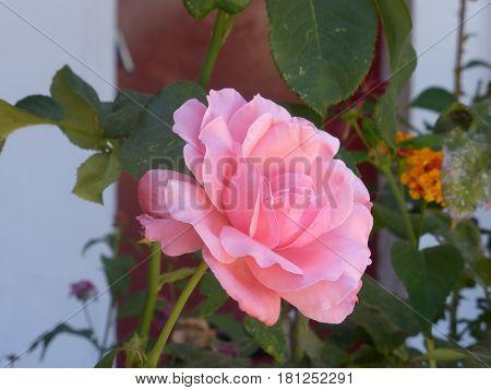 Hermosa flor de jardin, hermosa rosa con otras flores