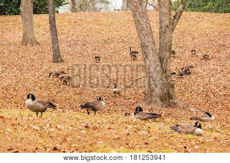 Flock of geese on a glade in the park