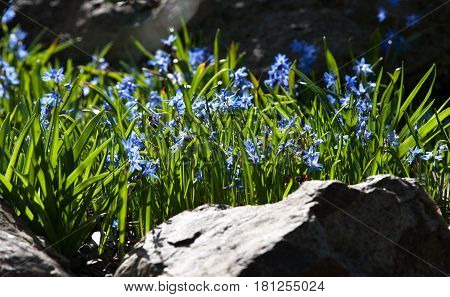 Alpine flora - Two-leaf squills Scilla bifolia