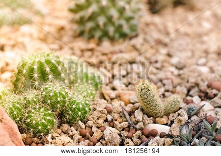 many little Cactus in the beautiful Garden