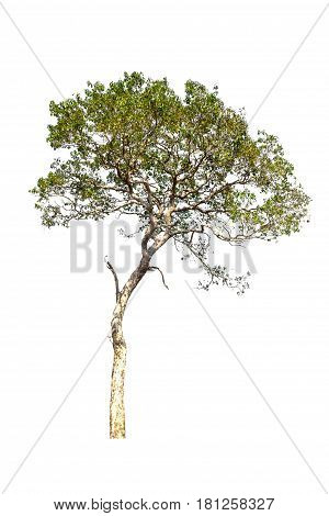 tree isolated tree on white bacground tree object.