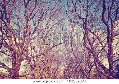 Picture of plane trees alley, retro stylized picture.