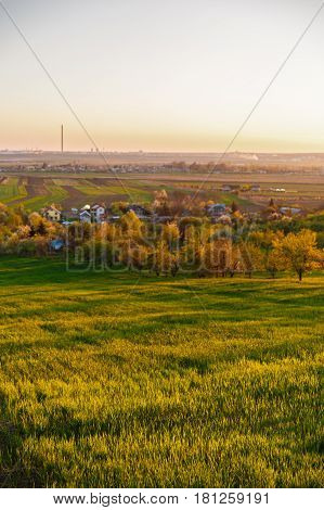 Culture Alfalfa Field At Spring