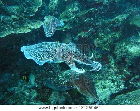 Big tree cuttlefish in coral reef underwater