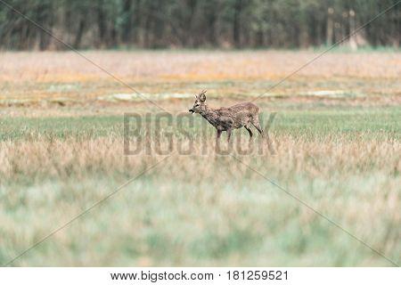 Feeding Roe Deer Buck Standing In Meadow.