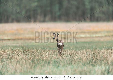 Roe Deer Doe Standing In Field Looking Aside.