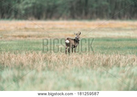 Roe Deer Buck Standing In Meadow Looking Aside.