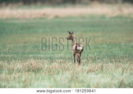 Roe Deer Doe In A Field Looking Aside. Rear View.