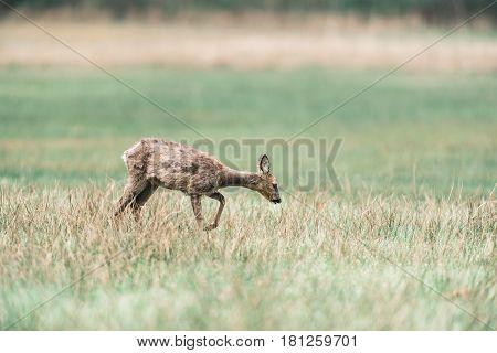 Roe Deer Doe Walking In A Meadow Looking For Food.