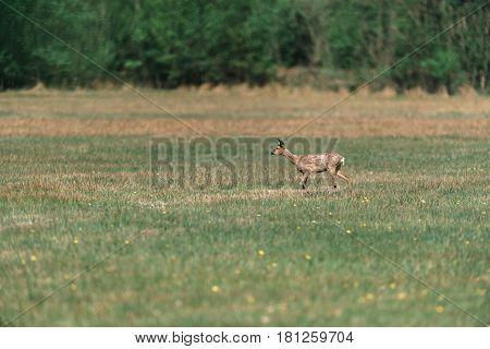 Young Roe Deer Doe During Moult Walking In Meadow.