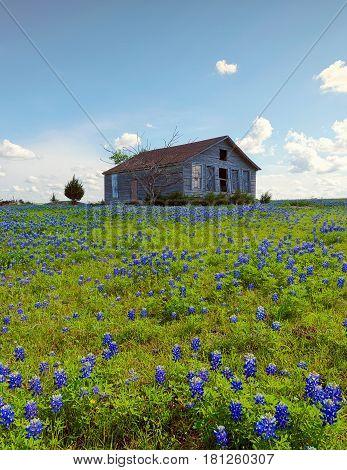 An old House in Bluebonnet flowers, Ennis