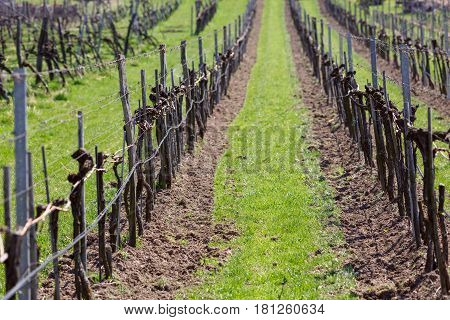 Vineyards in the Wachau valley in the spring. The district of Krems-Land, Lower Austria.