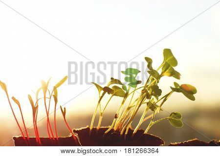 Sun rays on leaves of radishes and beets copyspace