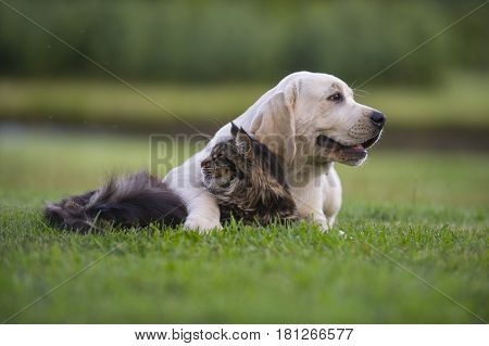 yellow Labrador Retriever puppy bred from kennel
