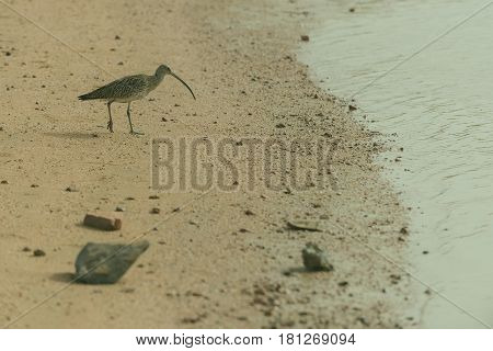 Cute Grey Bird Walking On Wet Sandy Beach Along Seashore