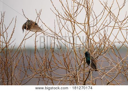 Two Wild Forest Birds Common Starling Sitting In Branch Tree In Spring Season. Belarus, Belarusian Nature, Wildlife