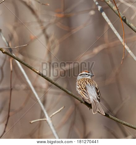 Chipping Sparrow (Spizella passerina) perched on a branch in Tennessee in early spring