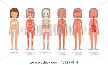 Woman anatomy system and structure of human body on white background. Vector illustration of muscular, blood nervous, digestive scheme and skeleton of female figure. Hand drawn pattern flat design.
