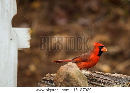 Red male Northern Cardinal at a bird feeding area