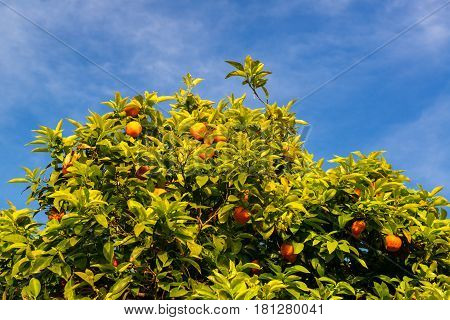 Orange tree on the Palatine Hill in Rome, Italy