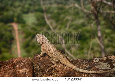 A large chameleon (genus: chamaeleonidae) rests on the edge of a wall on the ancient fortess of Sigiriya in Sri Lanka with the jungle below.