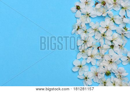 Cherry, Apricot Flowers As Natural Floral Background On Blue Color
