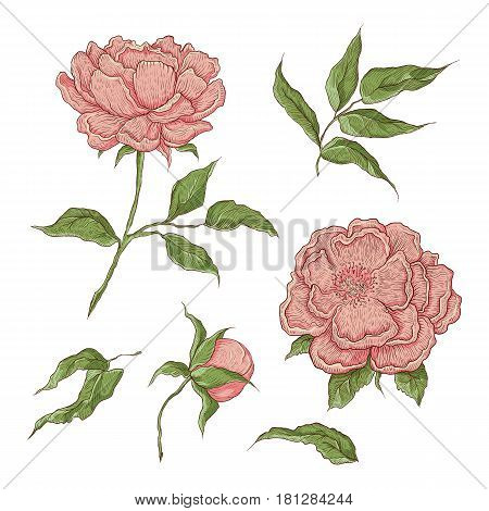 Vector color illustration of graphically hand-drawn flowers. Imitation engraving. Blooming peony with an open and a closed bud, leaves and twigs