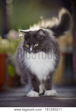 Fluffy cat of a smoky color with yellow eyes lit with the sun.