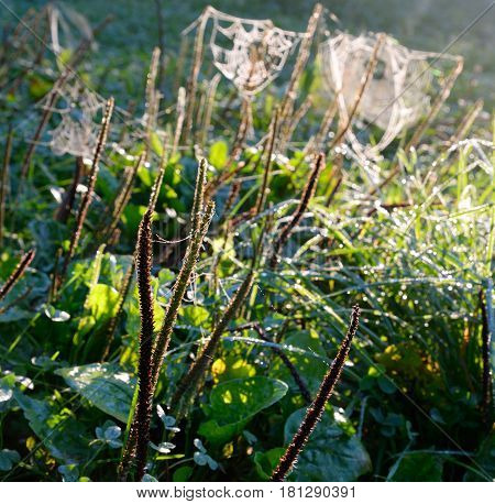 After the rain spider web with dew drops.