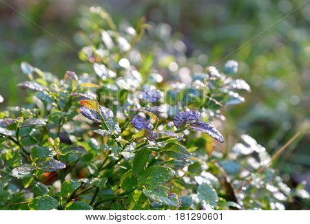 Bilberry leaves are covered with dew drops in the early morning.