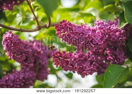 A honey bee collects pollen from lilac in the month of May. Honey plants Ukraine. Collect pollen from flowers and buds