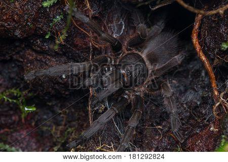 Tarantula, Close-up of Tarantula of Borneo , Beautiful Tarantula