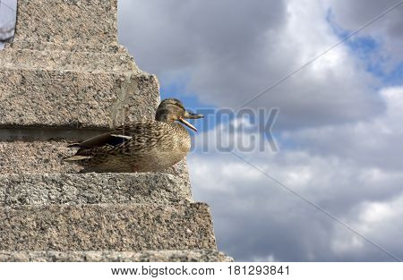 bird duck female standing on the stone stairs and opened the beak on the background of blue sky with white and gray clouds