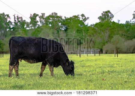 Black Angus cow grazing in green pasture with fence in the background