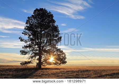Silhoutte of a Single Tall Tree at Sunrise with a sunburst through the branches