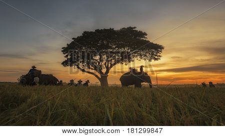 Harvest Rice Field