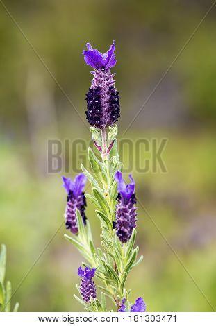 The wild plant flower in nature; Lavandula stoechas