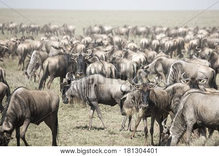 Moving Herd Of  Wildebeest In Great Migration In Serengeti National Park, Tanzania