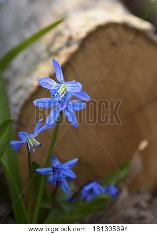 Blue Scilla flowers (Scilla siberica,Squill) in sunny spring forest.Selective focus,copy space.