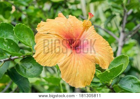 Droopy: a sunset hibiscus flower, with droopy leaves